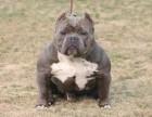 精品美国恶霸犬,包纯种,正宗美国血统