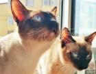 自家繁殖纯种暹罗猫