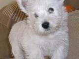 江门哪有西高地犬卖 江门西高地犬价格 江门西高地犬多少钱
