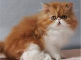 陕西咸阳包子脸加菲猫猫舍直销