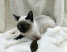 CFA高端繁育暹罗猫品质保障包健康