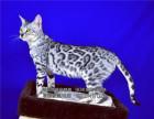 纯种健康的豹猫DDMM们找新家活泼可爱血统纯正