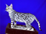 Cfa猫舍血统专业繁殖孟加拉豹猫空心玫瑰金色玩具豹猫