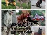 漳州哪里有卖马犬的优质马犬出售 性格猛烈 撕咬狠 结构好