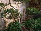 大量出售小叶女贞造型树盆景及桂花,等苗木销售