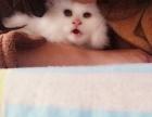出售波斯猫与长毛的宝宝