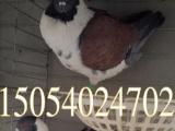 嘉兴跟头鸽,淑女鸽,毛领鸽,芙蓉鸽出售。