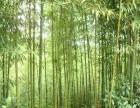 山东竹子北方耐寒绿化竹子北方适合种植竹子种类