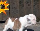 实物拍摄精品英国斗牛犬 保纯种健康 签终身质保协议