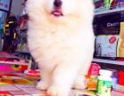 威海纯种萨摩耶价格 威海哪里能买到纯种萨摩耶犬