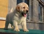 聪明活泼拉布拉多犬出售血统纯正包健康正规犬舍