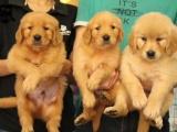 惠州本地 出售金毛犬,疫苗驱虫已做,可视频