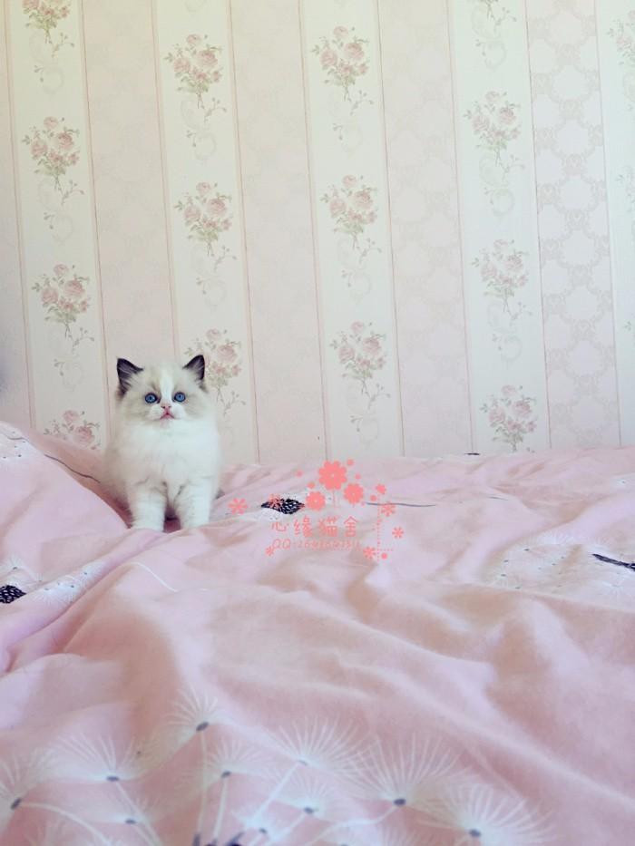 布偶猫多少钱一只 济南哪里有卖布偶猫 布偶猫图片