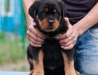 哈尔滨出售纯种罗威纳幼犬纯种大头德系美系罗威纳犬护卫