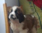 家养的圣伯纳幼犬高大威猛四肢粗壮品相好疫苗已做