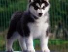 纯种西伯利亚雪橇犬哈士奇幼犬纯种三火蓝眼二哈
