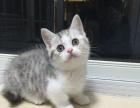 曼基康短脚猫/矮脚猫/起司矮脚猫 27000