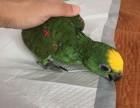 出售亚马逊鹦鹉 金刚鹦鹉 灰鹦鹉 葵花鹦鹉 大绯胸鹦鹉