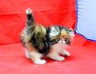 自家繁殖高品质CFA纯种 波斯猫 超级纯的小可爱