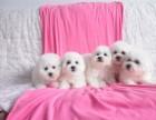 上海法系棉花糖比熊繁育基地常年幼犬出售 实地挑选