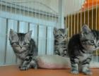 出售纯种家养 美短猫 疫苗齐包健康 全国包邮
