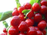 大樱桃苗,大樱桃树苗批发到汉源矮化嫁接大樱桃苗基地