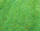 房山草坪种植中心供应绿化草坪丰台海淀涿州固安高碑店白沟草坪