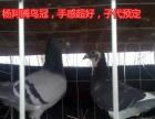 山东省临沂市费县出售部分成绩,血统鸽信鸽子代,接受预定,谁是