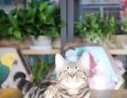杭州本地宠韵猫舍棕虎斑美国短毛猫活体出售包健康