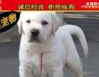 纯种健康专业狗场繁殖签协议-上门可便宜一拉布拉多犬