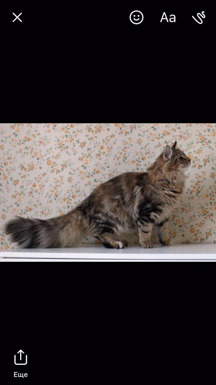 超漂亮的CFA纯种挪威森林猫,哪里有纯种挪威森林猫,