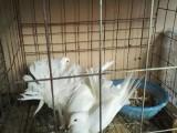 出售成年凤尾鸽150