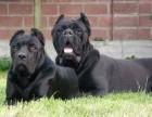 出售三个月纯卡斯罗犬幼犬 公母都有