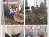 常年出售:观赏鸽,美国落地王鸽、白羽王鸽、卡努鸽、球型鸽、
