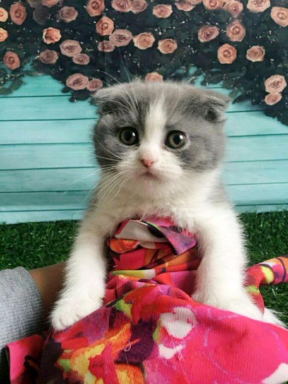 自家大猫生的蓝猫及蓝加白低价出售 弟弟妹妹都有 保健康纯种