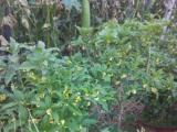 出售桂花盆景。丹桂。金桂等。