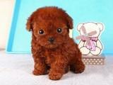 嘉兴哪有泰迪犬卖 嘉兴泰迪犬价格 嘉兴泰迪犬多少钱