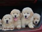 中山美系金毛犬多少钱 中山金毛犬养殖场在哪个地方