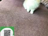 柳州哪里有布偶猫出售 柳州布偶猫价格 柳州宠物狗出售信息