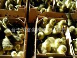 鹅苗养殖厂家专业供应优质鹅苗 纯朗德鹅苗 大小鹅苗一应俱全