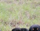家养罗威纳幼犬出售毛色油亮骨骼粗壮嘴宽德系优良品种