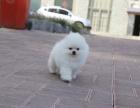 出售哈多利版球体博美幼犬 纯种健康品质有保障