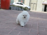 纯白色小体博美犬 品相佳无泪痕俊介犬健康活泼