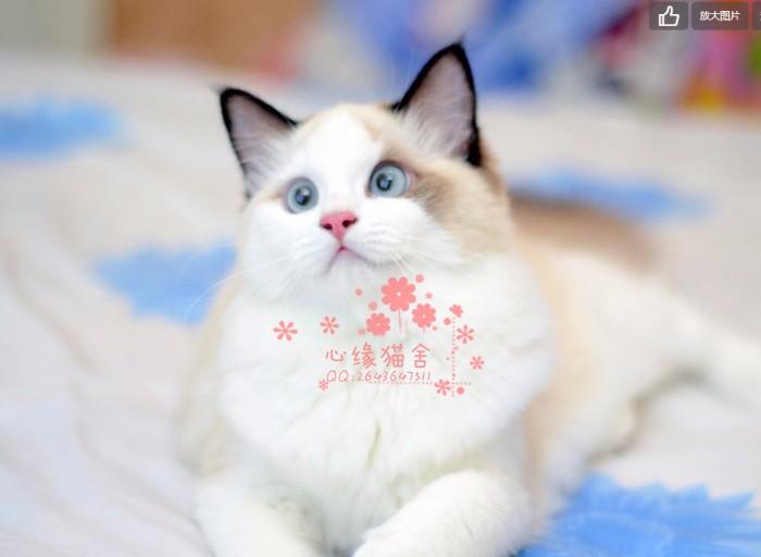 长沙哪里有卖纯种布偶猫呢?长沙布偶猫一只多少钱呢