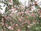 出售自家有机红富士苹果 不打蜡 不催熟 不泡新鲜剂