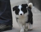cku注册犬舍 双血统边境牧羊犬可上门挑选