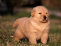犬舍直销纯种金毛幼犬,骨量大毛发多,可视频挑选送货上门