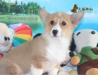 重庆巴南万达附近比较好的柯基犬出售