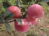 苹果苗价格咨询|德富春苹果苗