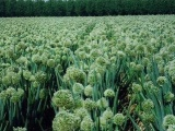 大葱种子储藏的方法秋季大葱种子的栽培技术